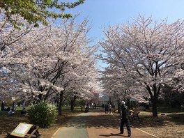 【一部施設休止】西東京いこいの森公園の桜