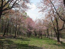 弥生公園の桜