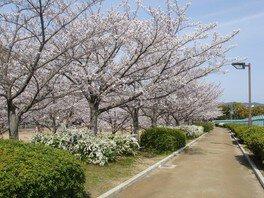 伊丹瑞ケ池公園の桜