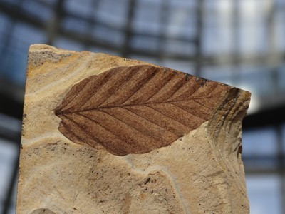 特別展関連イベント「化石教室 植物化石をしらべよう」