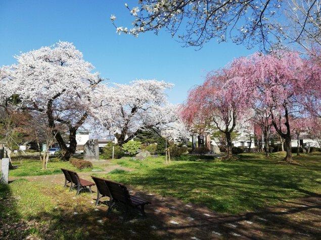 【桜・見ごろ】ぎんどろ公園