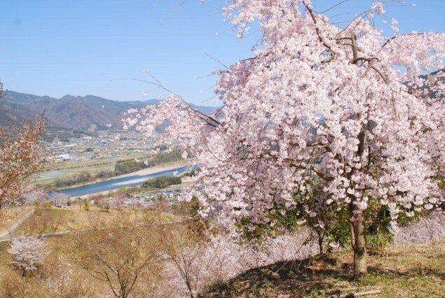 【桜・見ごろ】桜ヶ丘公園