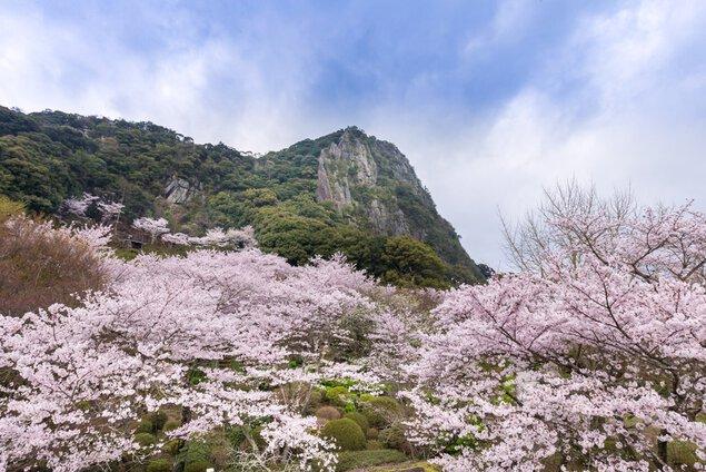 花まつり - 桜