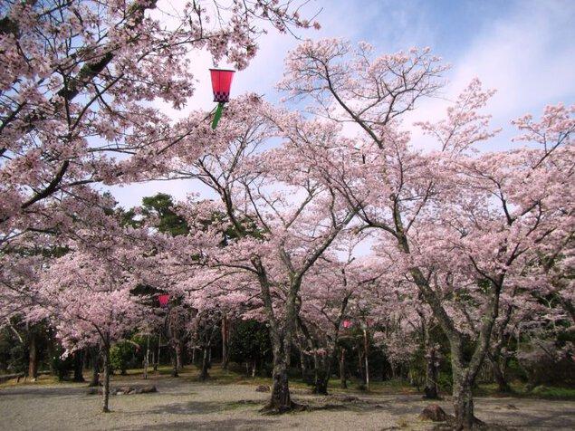 大滝峡自然公園の桜