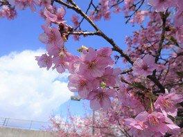 愛・地球博記念公園(モリコロパーク)の桜