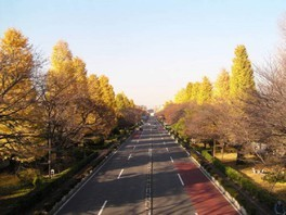 国立駅前 大学通りの紅葉