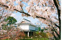 勝竜寺城公園(勝竜寺城)の桜