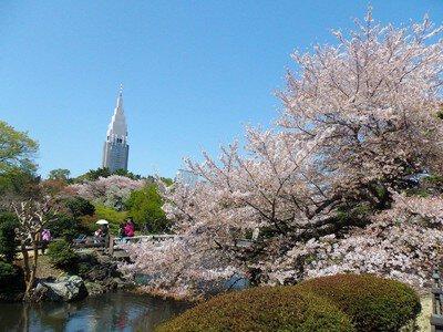「新宿御苑の桜」のお花見(新宿御苑前)