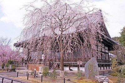 妙満寺の桜