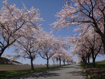 猪苗代町営磐梯山牧場の桜