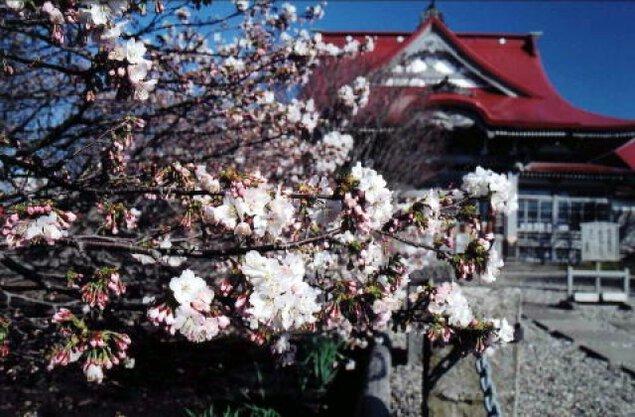 【桜・見ごろ】清隆寺