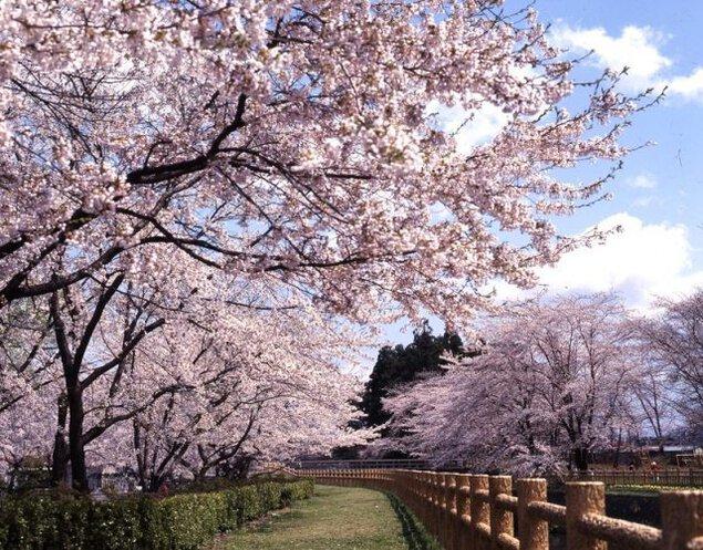 【桜・見ごろ】鳥谷ケ崎公園
