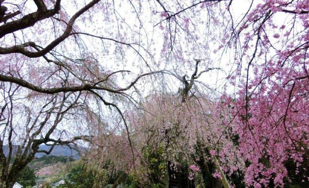 【桜・見ごろ】本柿木・法泉寺シダレザクラ