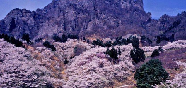【桜・見ごろ】 妙義山さくらの里