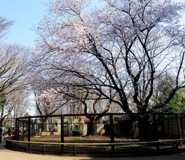 夢見ヶ崎動物公園の桜