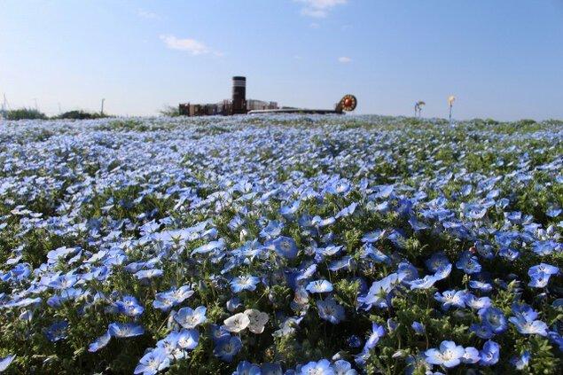 【花・見ごろ】長井海の手公園ソレイユの丘 ネモフィラ