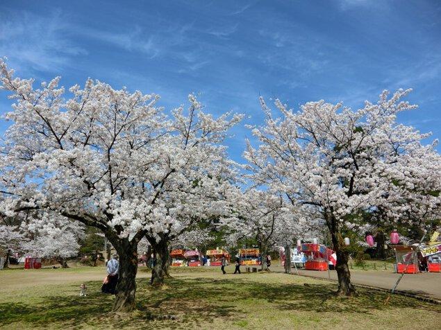 【桜・見ごろ】悠久山公園