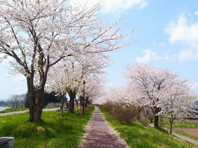 【桜・見ごろ】イギリス海岸