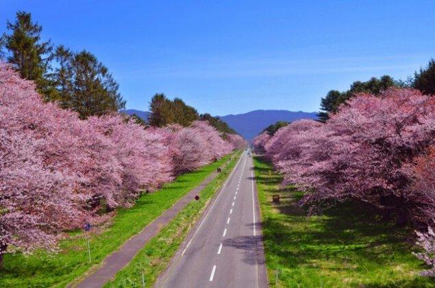 【桜・見ごろ】静内二十間道路桜並木
