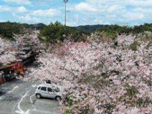 【桜・見ごろ】大浜公園