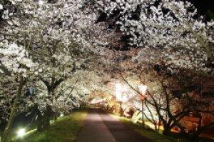 【桜・見ごろ】斐伊川堤防桜並木