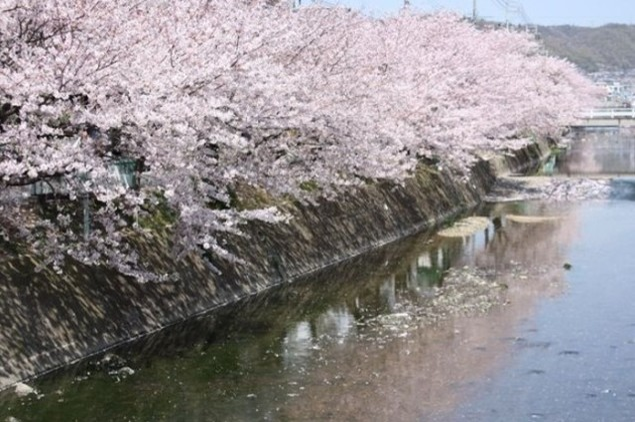 【桜・見ごろ】桜土手