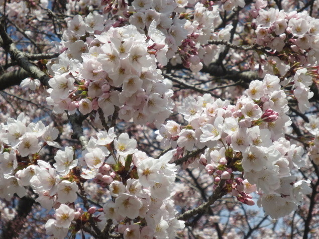 【桜・見ごろ】紫波町 城山公園