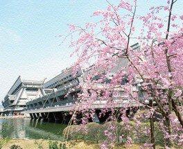 国立京都国際会館の桜