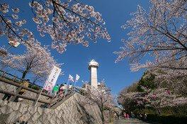 城山公園(愛知)の桜