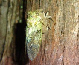 る・く・る自然観察会「夜の神秘!セミの羽化観察会」