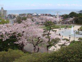 【臨時休園】函館公園の桜