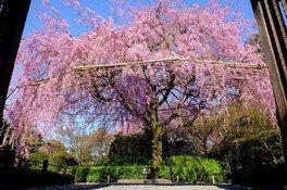 退蔵院(妙心寺山内)の桜
