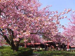 伊香保グリーン牧場の八重桜