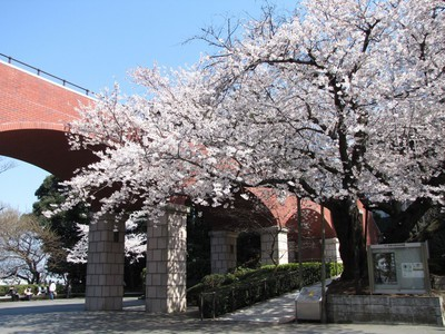 港の見える丘公園の桜