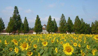 【花・見ごろ】滋賀農業公園ブルーメの丘 ひまわりフェスタ