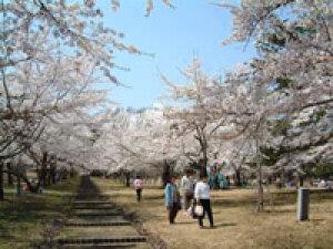 【桜・見ごろ】桜林公園