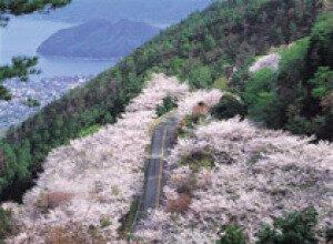 【桜・見ごろ】野呂山