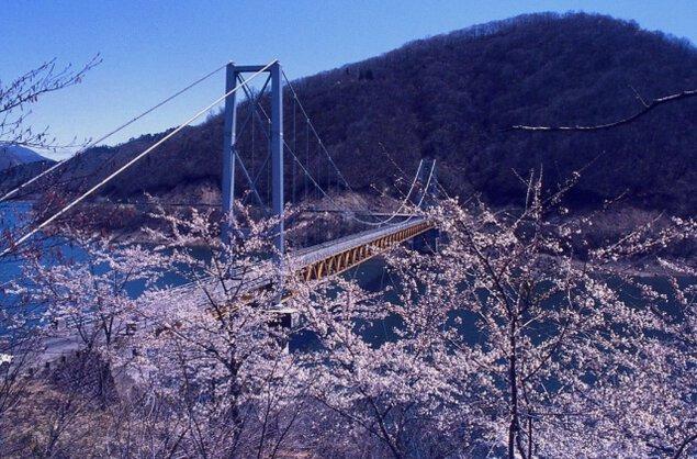 【桜・見ごろ】九頭竜万本さくら