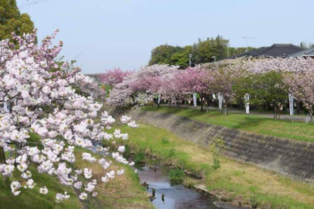 【桜・見ごろ】於大のみち