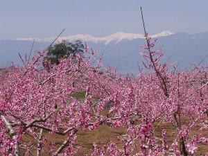 浅間園 桃の花まつり2020