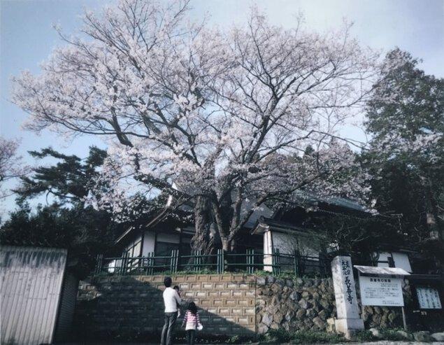 【桜・見ごろ】長善寺