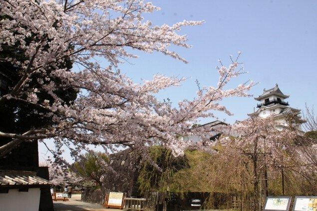 【桜・見ごろ】掛川城公園