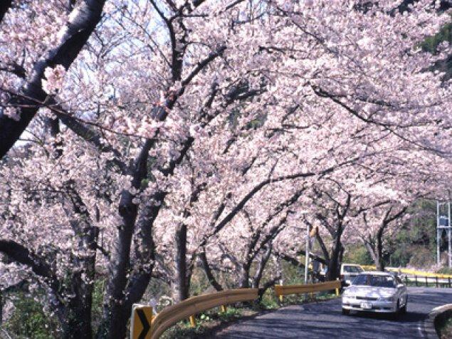 【桜・見ごろ】五条の千本桜