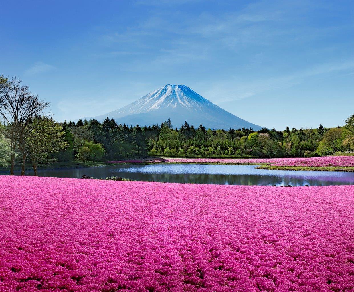 芝 まつり 2020 桜 富士