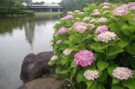 【花・見ごろ】千葉県立幕張海浜公園 見浜園のあじさい