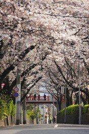桜坂(大田区)の桜