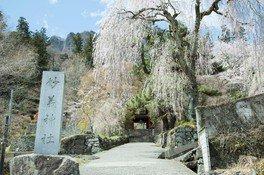 妙義神社シダレザクラ