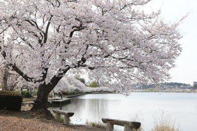 千波公園の桜