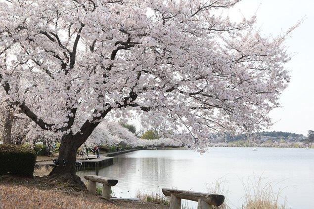 千波湖畔の桜