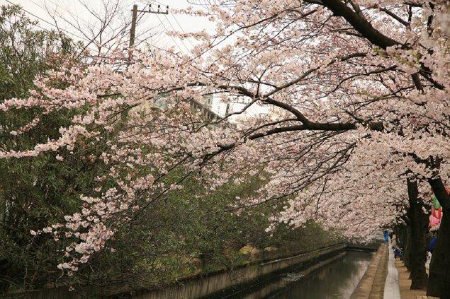 仙台堀川公園の桜